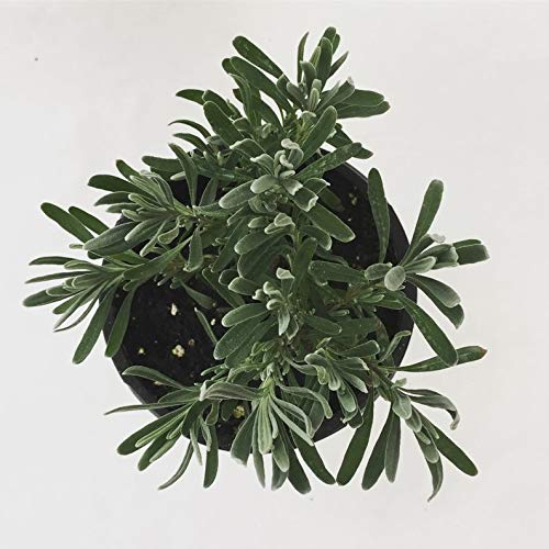 (Lavender Grosso Herb 4