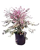 PlantVine Breynia disticha, Snow on The Mountain, Snowbush - Large - 8-10 Inch Pot (3 Gallon), Live Plant, 4 Pack