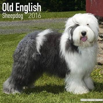 sheepdog calendar 2017 old english sheepdog sheep dog dog breed calendars 2016 2017 wall calendars 16 month by avonside megacalendars