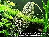 Best Co2 Diffuser For Aquaria - FidgetKute Madagascar Lace Plant Bulb Seed- Live Aquarium Review