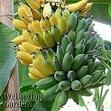 ice cream banana plant - SS0144 Ice Cream HARDY BANANA PLANT Tasty Fruit Tree LIVE PLANT Blue Java New