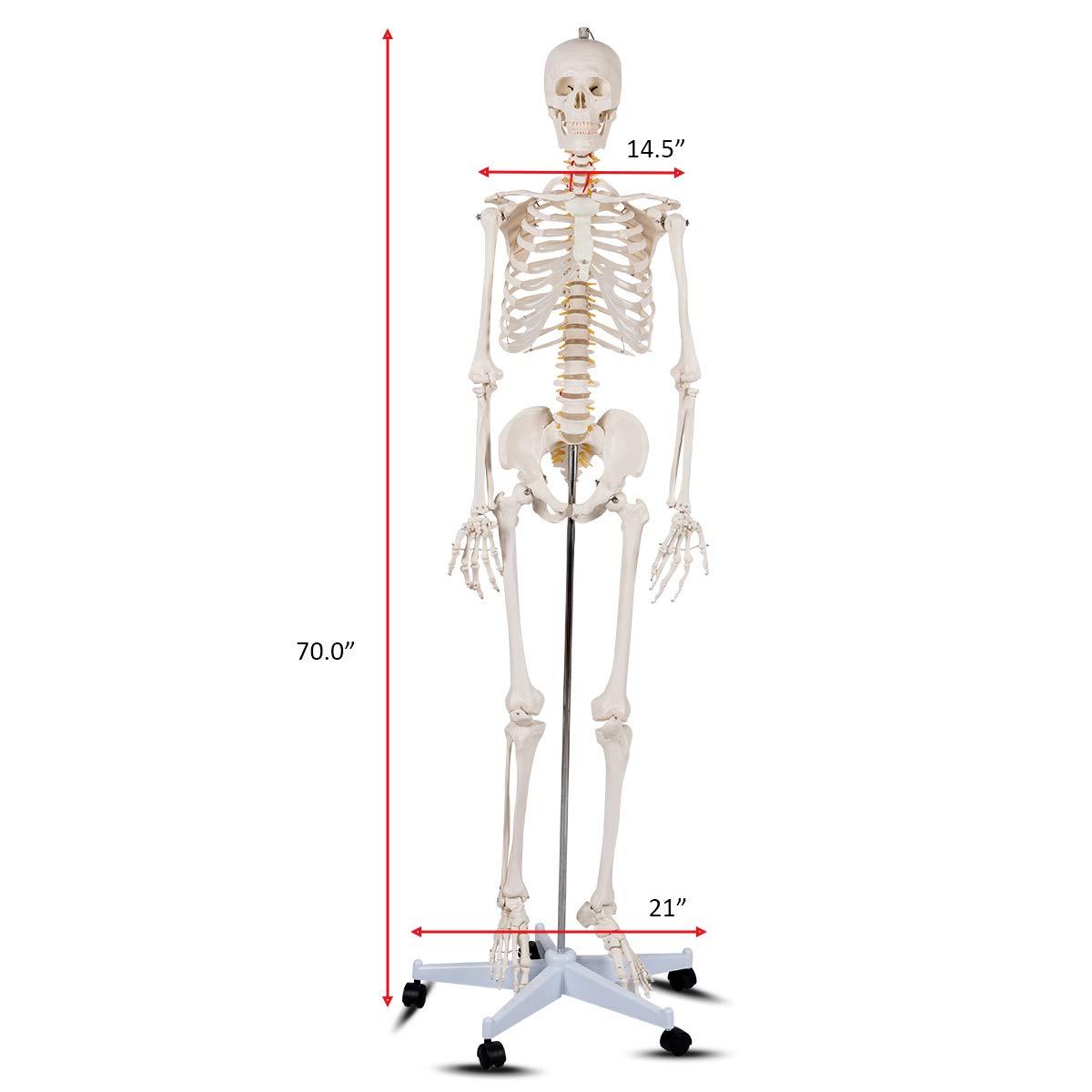 Giantex 70 Life Size Human Skeleton Model Medical Anatomical With
