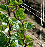 David's Garden Seeds Leafy Greens Spinach Red Malabar OS2437 (Purple) 200 Open Pollinated Seeds