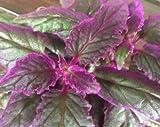 Large Purple Passion (Gynura Aurantiaca) Purple Velvet Plant 8 x 6 inches