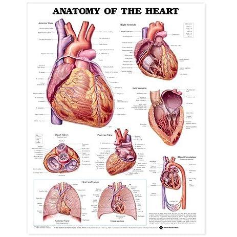 Amazon com anatomy of the heart anatomical chart anatomical