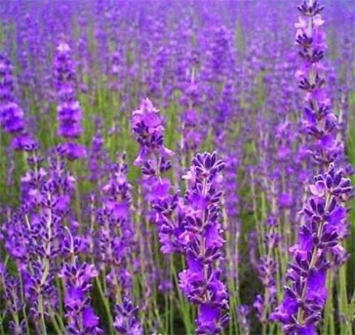 500-true-english-lavender-vera-lavender-augustifolia-vera-herb-flower-seeds