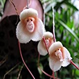 INNI 200PCS Monkey Face Orchids Seeds Multiple Varieties Plants Garden Bonsai Flower