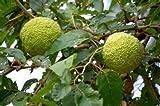 15 Seeds Osage Orange Tree use for Bonsai or Ornamental Yard Tree