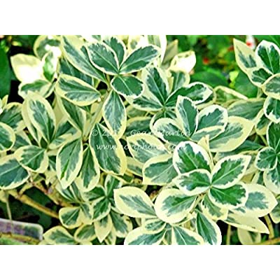 20 Silver King Euonymus Seeds - Euonymus japonicus 'Silver King' : Garden & Outdoor