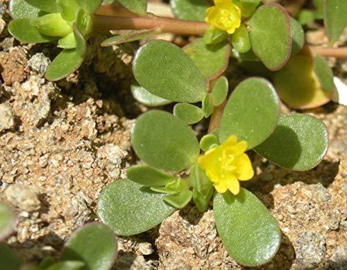 Purslane HERB Seeds, Antibacterial Coughs Aches Medicinal -