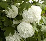 Amazing Plants Eastern Snowball Bush (Viburnum), Quart Pot