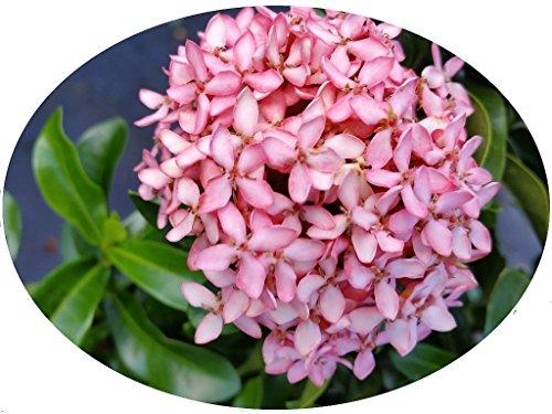 Pink Dwarf IXORA Miniature Taiwanensis Tropical Low Growing Flowering Shrub Live Plant Starter Size 4 Inch Pot Emerald tm (Best Low Growing Shrubs)