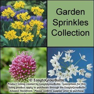 Pink, White & Yellow Allium Bulbs Collection - 60 large bulbs - 5/6+cm Neonicotinoids Free - Attracts Butterflies!