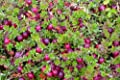 CRANBERRY SEEDS - AMERICAN! Hardy,edible,great for birds and wildlife! Comb. s/h