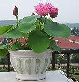 Bonsai Lotus / Wasser Lily Blume Bowl-Pond 5 Frische Samen / pinke Farbe Lotus