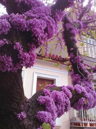 Cercis Canadensis, Eastern Redbud Cold Hardy Flowering Tree 20 Seeds