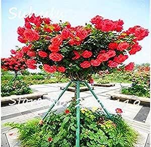 Germinación de Las Semillas: Borgoña: Semillas 50Pcs Flor RARA rosal en Maceta Inicio Jardín Balcón y Patio Plan de Flores: Amazon.es: Jardín