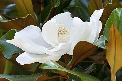 Southern Magnolia Large Sympathy Gift Tree by The Magnolia Company - Get Beautiful and Fragrant Flowers on Lush''in Memory'' Magnolia Tree Gift by The Magnolia Company (Image #3)