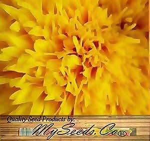 (120) TEDDY BEAR Sunflower Seed - SMALL & BUSHY - FUN & Easy to Grow - Comb. S&H