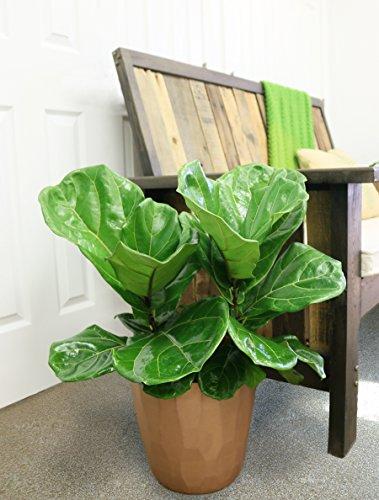 Costa Farms Live Ficus Lyrata, Fiddle-Leaf Fig, Indoor Tree - Floor Plant, 2-Feet Tall, Ships Fresh From Our Farm
