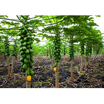Dwarf Solo Papaya Tree! 10 Seeds! Small fruit! PERFECT FOR GROWING IN POTS : Garden & Outdoor