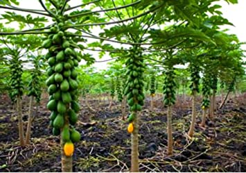 Amazon Dwarf Solo Papaya Tree 10 Seeds Small Fruit PERFECT FOR GROWING IN POTS Garden Outdoor