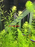 6 Myrio Filigree (Myrio Simulan), Live Aquarium Stem Plant