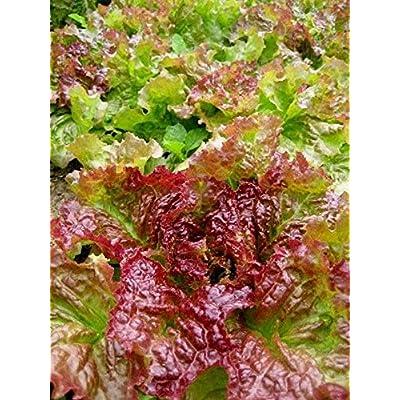 Prize Head Leaf Lettuce Seeds (40 Seed Pack) : Garden & Outdoor