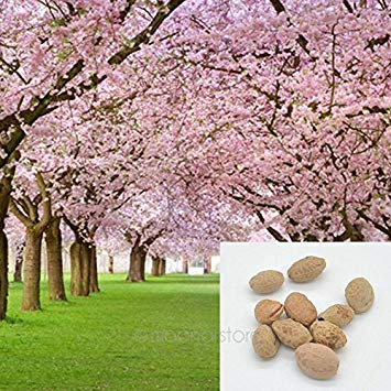 ering Cherry Tree Seed - Prunus serrulata Seeds - Cherry Blossom Balcony Bonsai Garden 20PCS ()