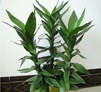 20 pcs bag Lucky Bamboo potted balcony planting is simple budding rate of 95/%,