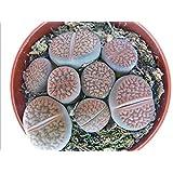 Lithops - Living Stone - several plants in 8,5 cm pot