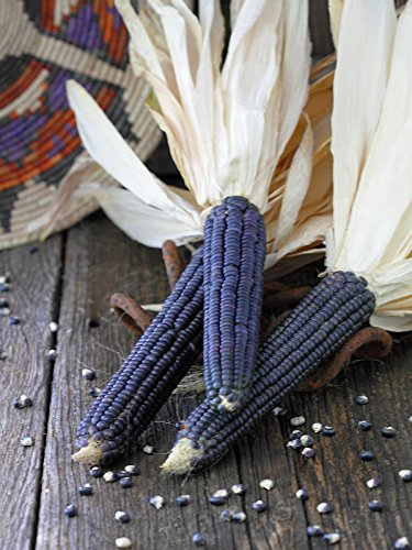 Organic Hopi Blue Corn 1/2 OZ ~75 seeds (Organic Blue Corn Seeds compare prices)
