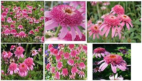 Beautiful Double Pink Delight coneflower Flowering Plant 25 + Seeds
