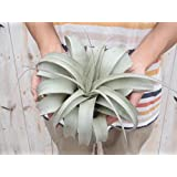 エアープランツ BIGサイズ キセログラフィカ (チランジア チランドシア 観葉植物)
