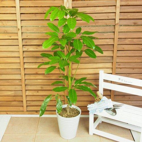イイハナドットコム 観葉植物 シェフレラアルパイン 7号 B01LX13BYC