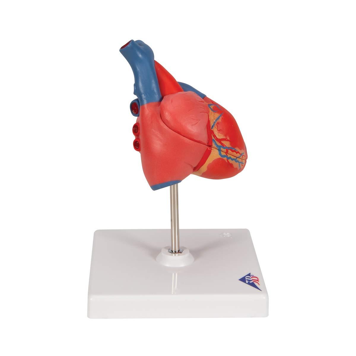 7.5 x 4.7 x 4.7 3B Scientific G08 2 Part Classic Heart Model