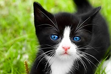 Amazon.com A black cat with blue eyes , Nature Poster