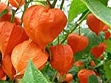 CHINESE LANTERNS, Chinese, Lanterns, Lantern, Orange Flower, Flowers, Flower, (1), Perennial Flower, Halloween, Live Plants, Live Plant