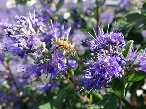 Proven Winners - Caryopteris X cland. Beyond Midnight (Bluebeard) Shrub, , #2 - Size Container by Green Promise Farms (Image #2)