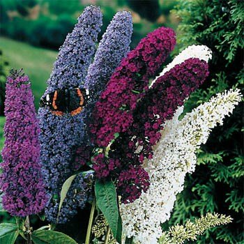 Outsidepride Butterfly Bush Mix - 500 (Butterfly Bush Shade)
