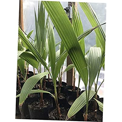CKN 1 Pcs Bare Root 2 Years Mexican Fan Palm Washingtonia Robusta - 143EB : Garden & Outdoor