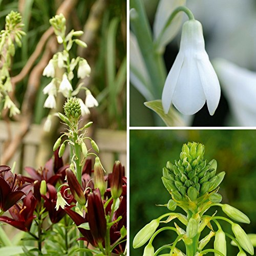 Galtonia Indian Summer Collection   Vridiflora & Candicans   Green and White Summer Hyacinth Bulbs   Fragrant   Ships from Easy to Grow TM - Grow Hyacinth Bulb