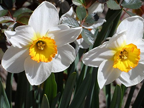 Narcissus (Daffodils) Avalanche - 10 Very Large Bulbs - 17+ cm by EGBULBS