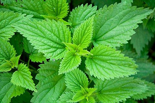 Stinging Nettle Plant 50 Seeds - Herbal Tea or Deterent