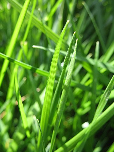 Pensacola Bahia Grass Seed Fully Tested Fast Germination (5 lbs) by OrOlam (Image #3)