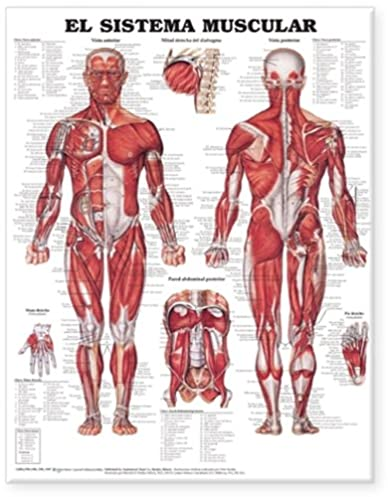 Muscle diagrams in spanish illustration of wiring diagram the muscular system anatomical chart in spanish el sistema muscular rh amazon com diagramming sentences spanish muscle chart in spanish ccuart Gallery