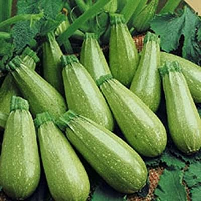 Magda Squash Seeds Mid-Eastern Hybrid by Stonysoil Seed Company