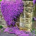 Pakuda 50+ AUBRIETA Cascade Purple Rock CRESS Flower Seeds, Perennial, Deer Resistant!