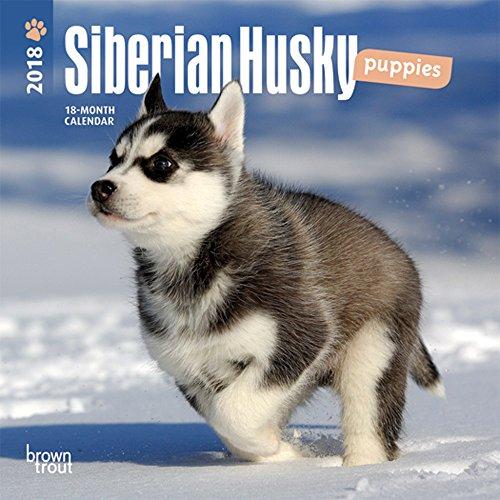 Husky Puppy - 5