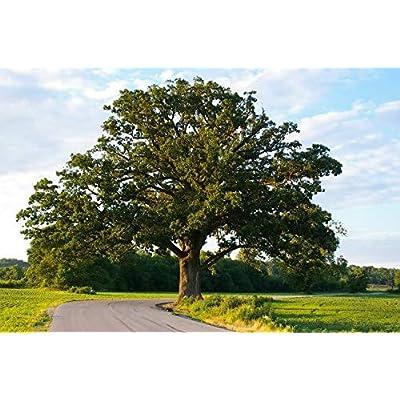 3 Florida Native Oak Tree Sapling Live Plant Seedling Bush/Shrub/Tree : Garden & Outdoor